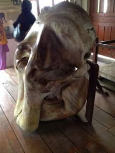 Elephant's Skull Right