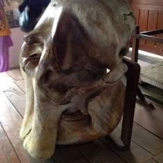 Elephant's Skull Right